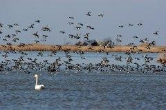 Скупчення качок на озері. Фото: Yu-Moskalenko, CC-BY-SA-4.0