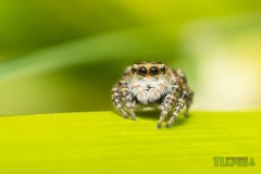 Павук-стрибун_у_Рівненському_природному_заповідникуDimatrofimchuk-CC-BY-SA-httpscreativecommons.orglicensesby-sa4.0